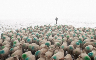 Past as Future documentary sheep-in-snow-shepherd