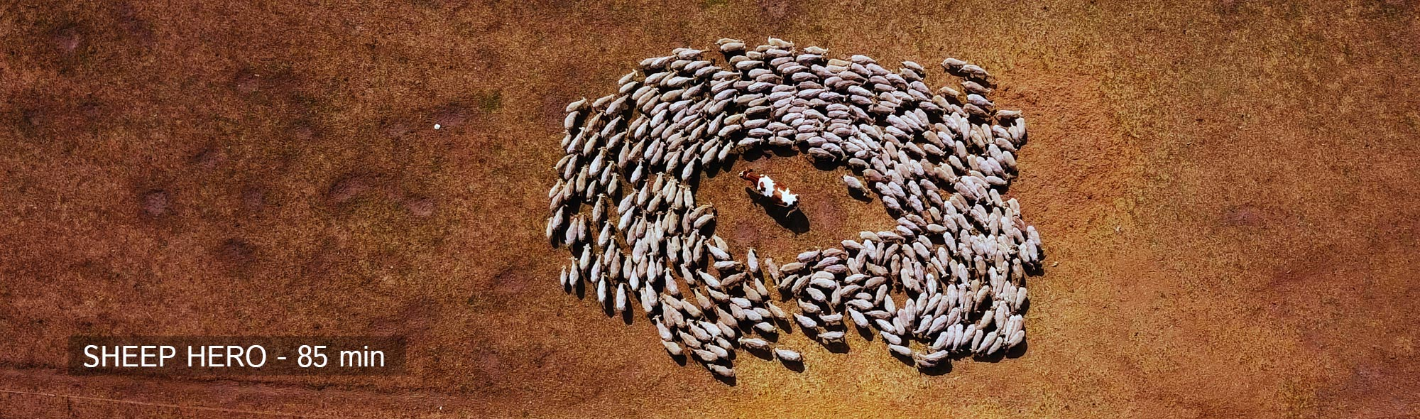 sheephero-scheep-cow