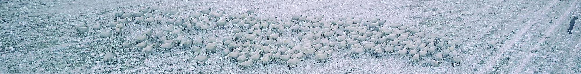 Ton van Zantvoort - SHEEP HERO documentary snow